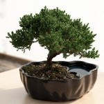 bonsai gift for a gardener